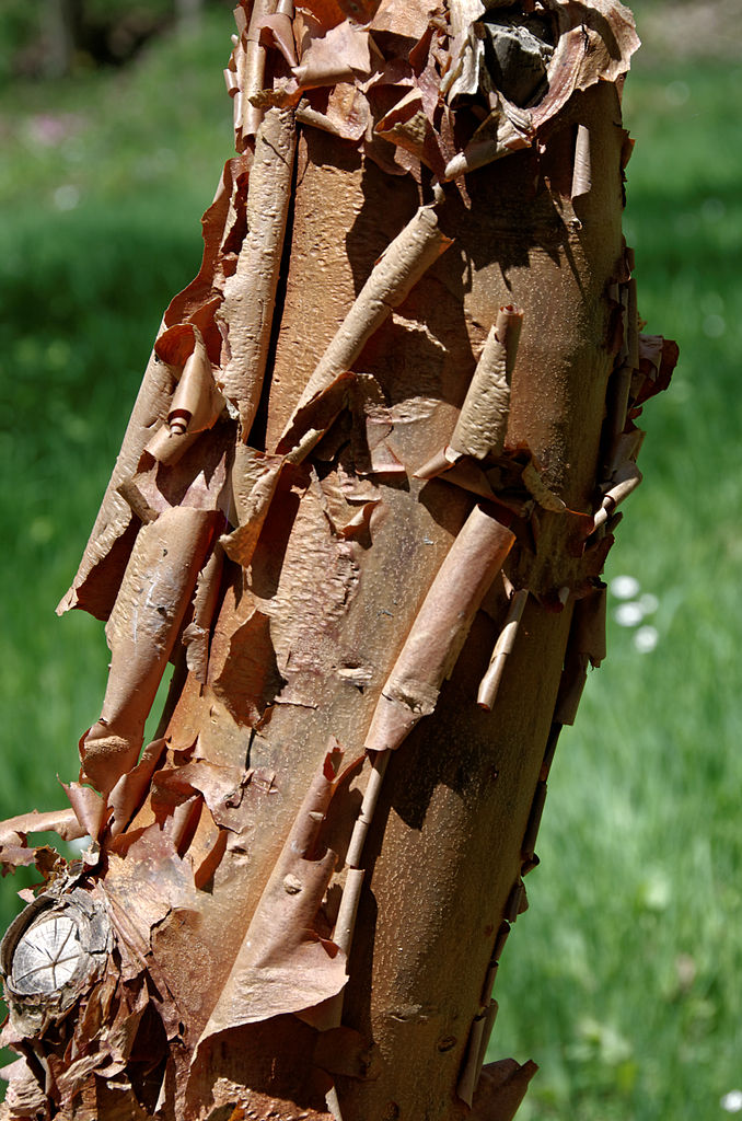 Bark of a Paperbark Maple