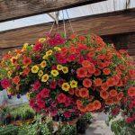 Mixed Calibrachoa hanging basket