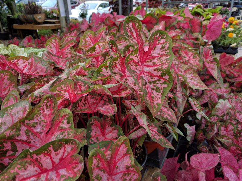 Variegated Caladiums plants