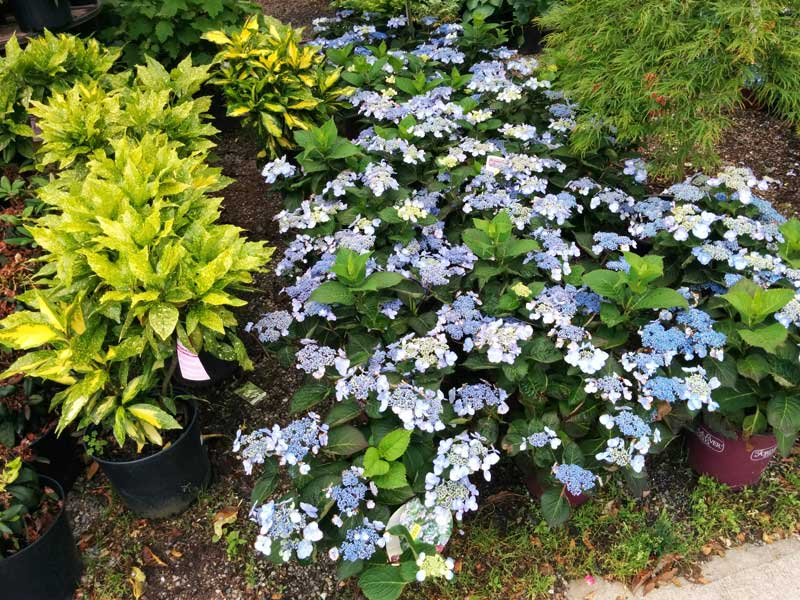Blue Lace Hydrangea and Aucuba