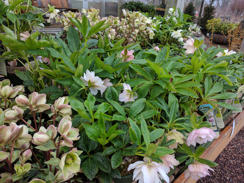Several Helleborus varieties