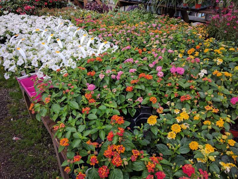 "4"" Lantana and some white petunias"
