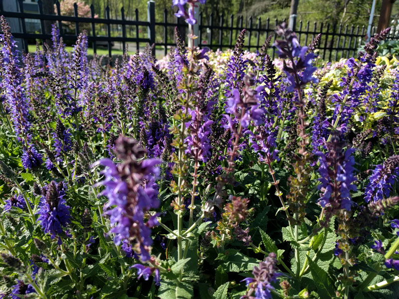 May Knight Salvia flowering