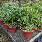 Heirloom tomatoes in large pots.