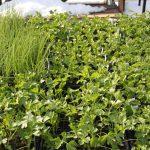 Cold season herbs