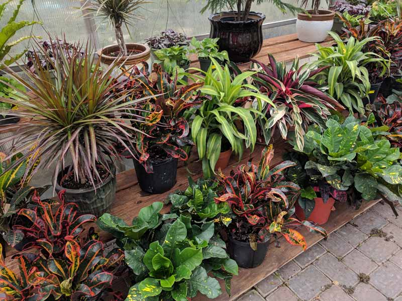 Large Croton and Dracaena plants