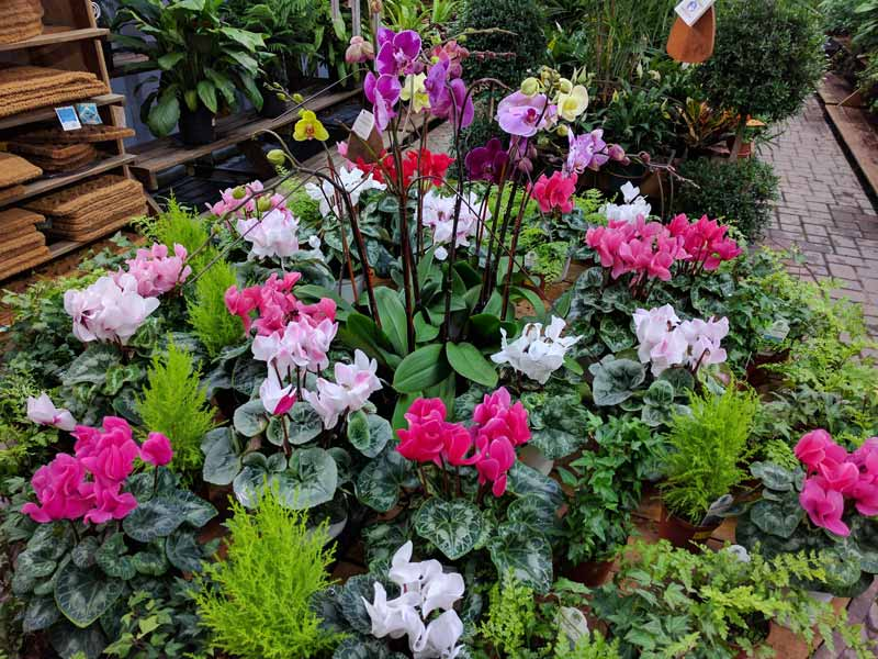 A photo of Cyclamen, Orchids, Lemon Cypress and Ferns