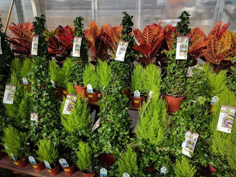 Ivy Topiary, Croton and Lemon Cypress Plants
