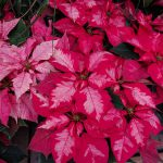 A Ruby Frost Poinsettia