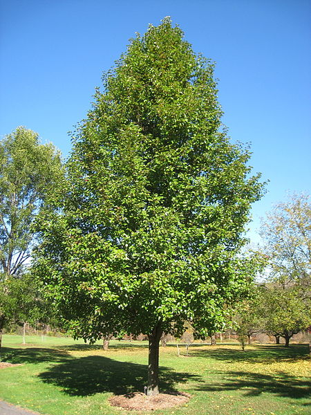 Cleavland Select Pear tree overall shape with green foliage
