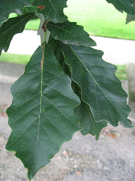 Swamp White Oak Quercus Bicolor leaf up close