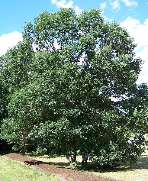 Swamp White Oak overall habit/form of mature tree