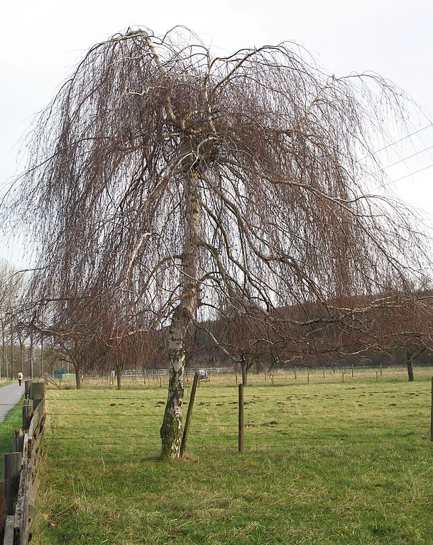 Weeping Birch in Winter