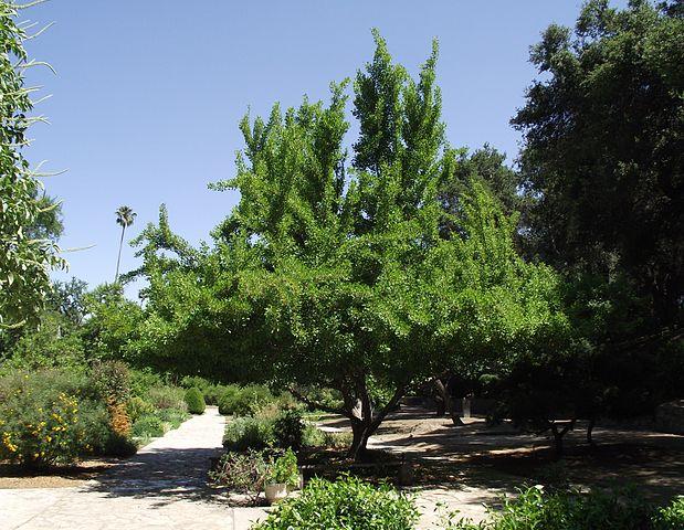 Saratoga Maidenhair Tree overall form