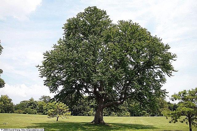 Katsura Tree overall habit/shape
