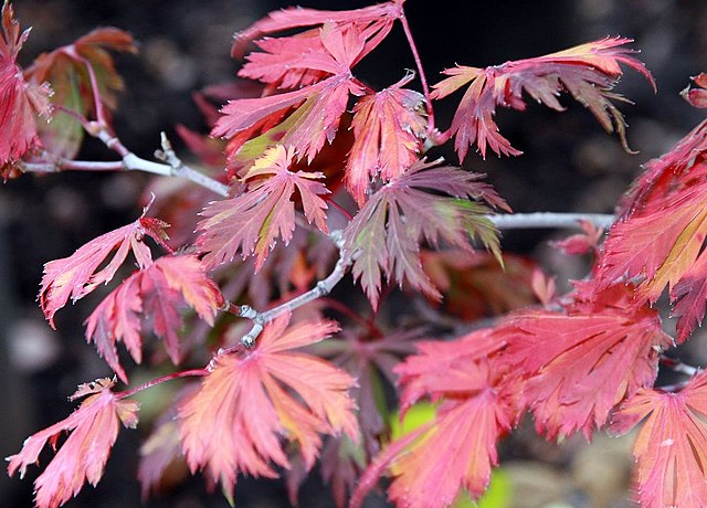 Fernleaf Maple Fall Color