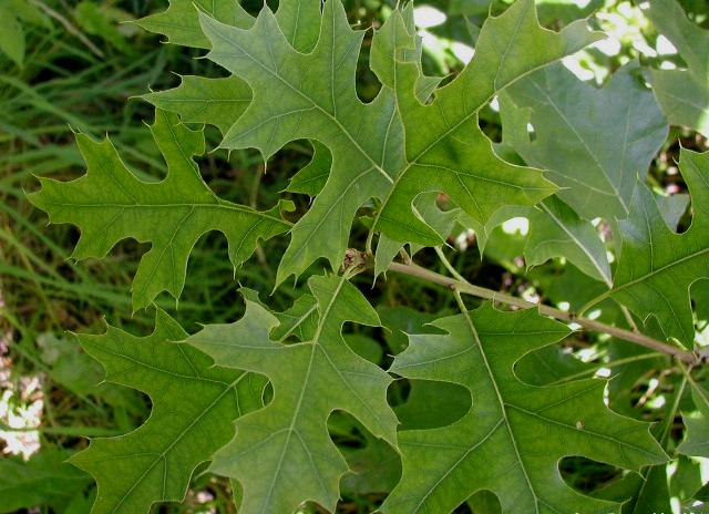 Pin Oak Quercus Palustris leaves up close.
