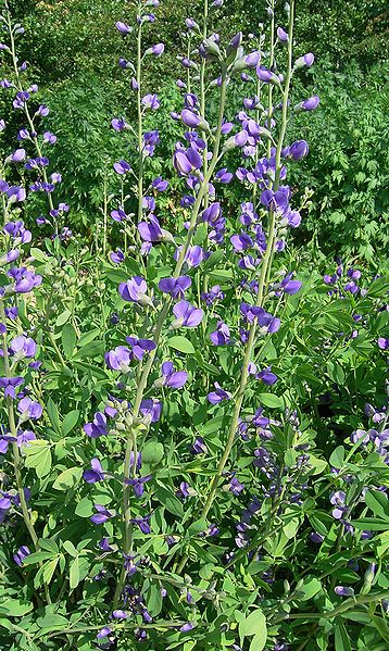 Habit of growth of False Indigo with a profusion of flower blooms