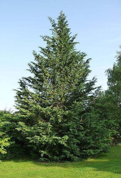Leyland Cypress overall shape/habit
