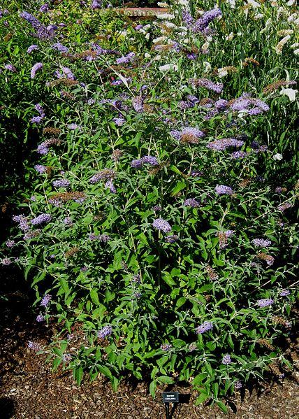 Butterfly Bush habit/shape rounded shrub