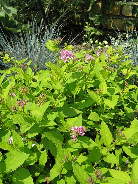 Golden yellow/green foliage of Goldmound Spirea with scattered pink flower blooms