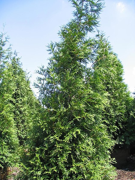 Green Giant Arborvitae overall pyramidal form/habit
