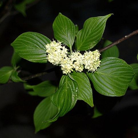 Pagoda Dogwood leaves and flower
