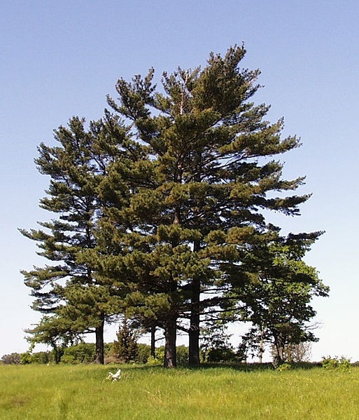 Eastern White Pine tree habit of growth