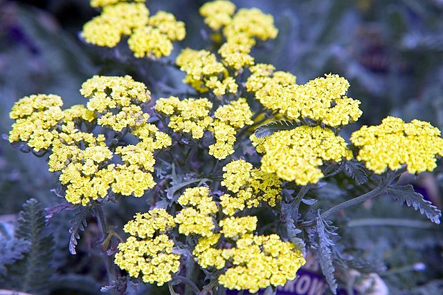 Moonshine Yarrow yellow flower blooms against the grey/green foliage