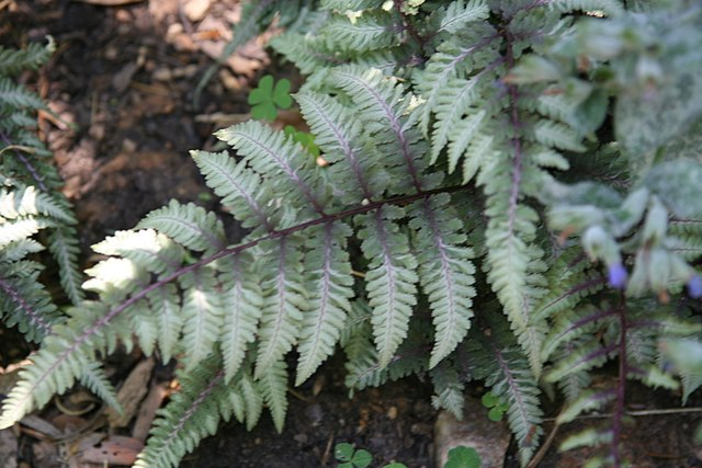 Colorful foliage of Japanese Painted Fern