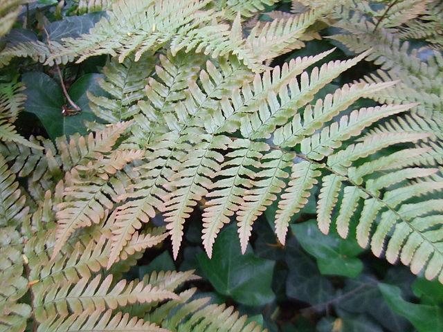 Brilliance Autumn Fern foliage color