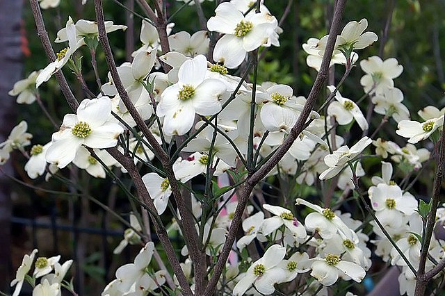 Cloud Nine Flowering Dogwood Cornus Florida Cloud Nine