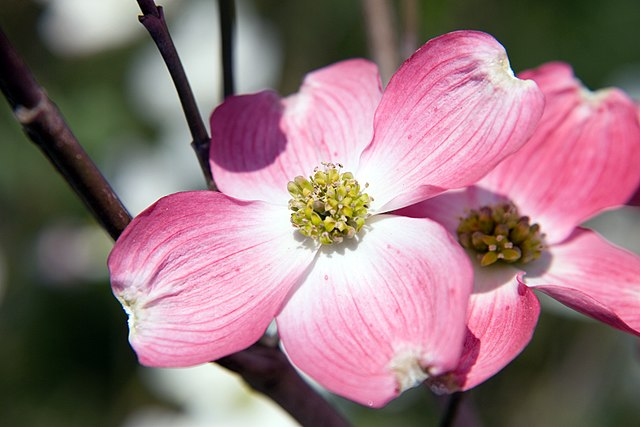 Cherokee Brave Flowering Dogwood showing the small true flowers in center surrounded by beautiful pink bracts that resemble petals
