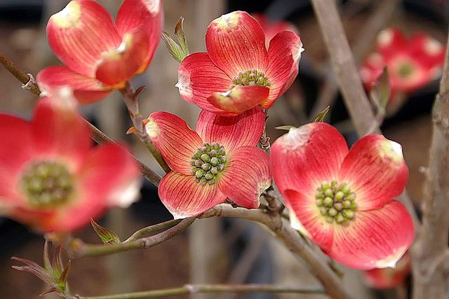 Cherokee Brave Flowering Dogwood pink flower bracts
