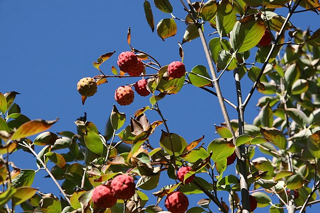 Kousa Dogwood unique red berry fruits