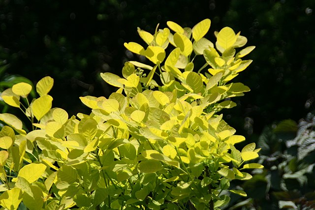 Golden Spirit Smoke Bush showing off its golden foliage color.