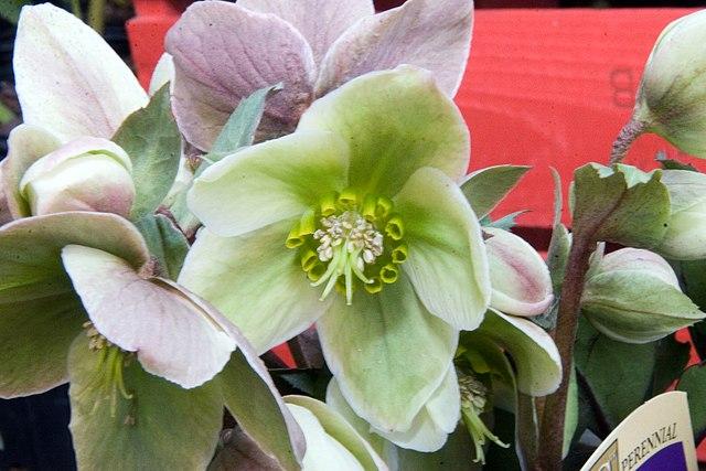 Ivory Prince Lenten Rose flower