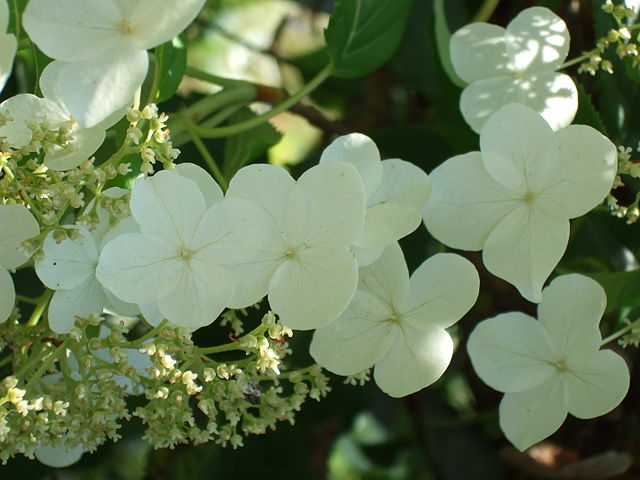 White lace-cap flowers of Climbing Hydrangea