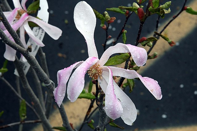 Leonard Messel Magnolia flower petals up close