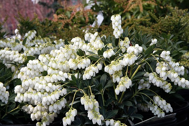 Cavatine Andromeda evergreen foliage and white flowers