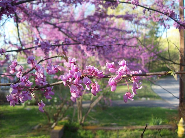 Eastern Redbuds prolific flower blooms before the leaves emerge. The flowers really do cover the tree in a lovely blanket of pink.