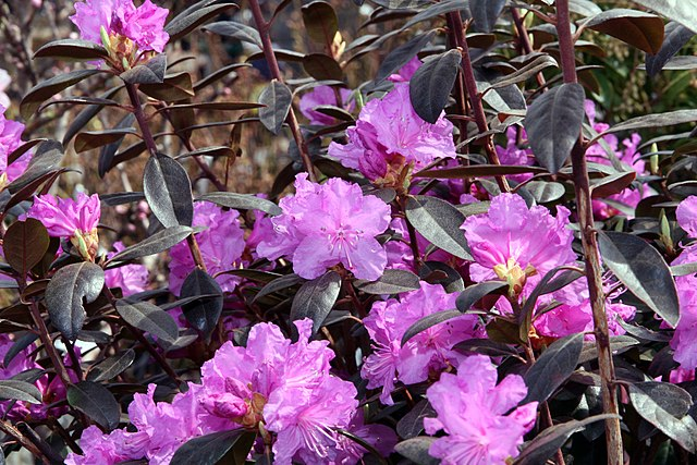 PJM Rhododendron purple flowers and dark green foliage