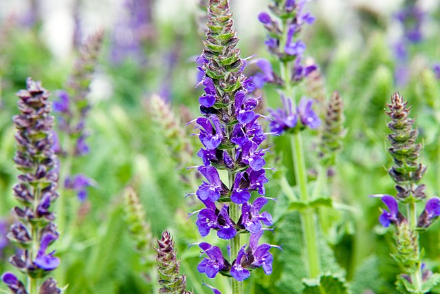 May Night Sage purple flowers