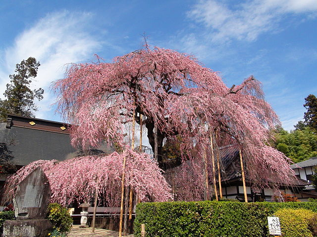 Gorgeous Weeping Higan Cherry Tree at maturity