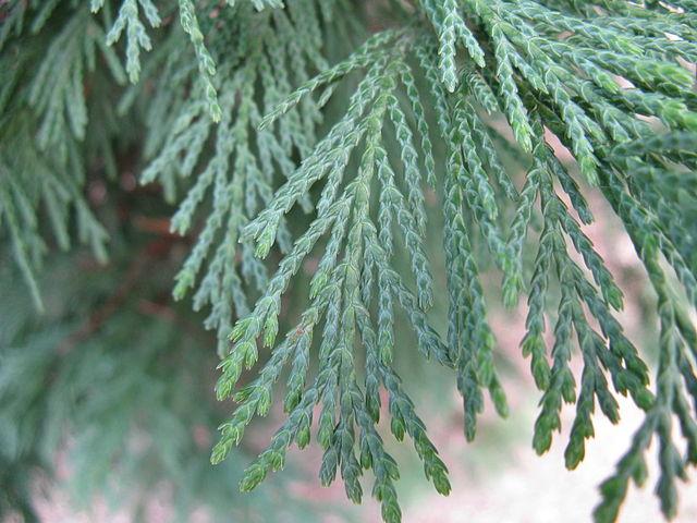 Leyland Cypress beautiful foliage up close