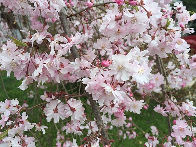 Weeping Higan Cherry lovely flower blooms up close