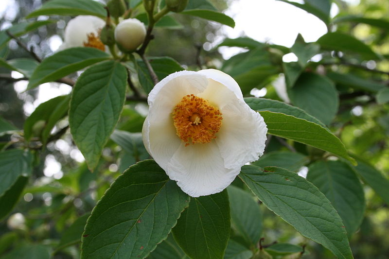 Japanese Stewartia white flower with orange center