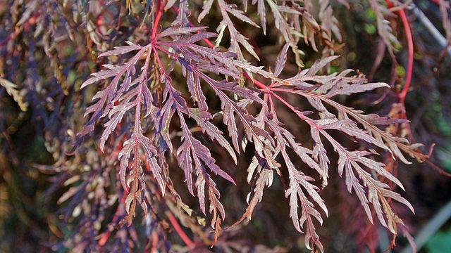 Inaba Shidare Japanese Maple foliage color