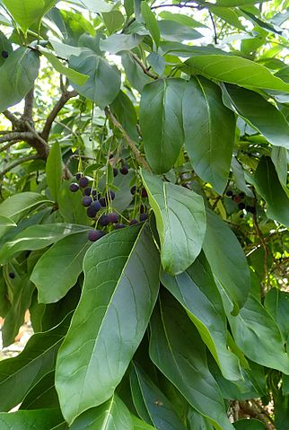 White Fringe Tree leaves and berries up close