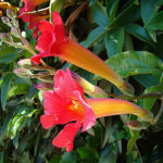 Trumpet shaped flowers